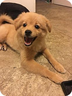 Pomeranian/Golden Retriever Mix Puppy for adoption in Chester, Illinois - Ollie