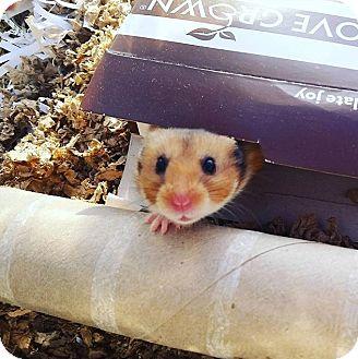Hamster for adoption in Bensalem, Pennsylvania - Tootsie Roll