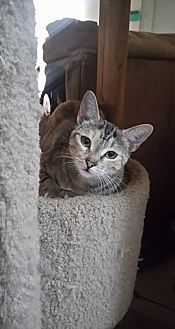 American Shorthair Cat for adoption in San Diego, California - Gamela
