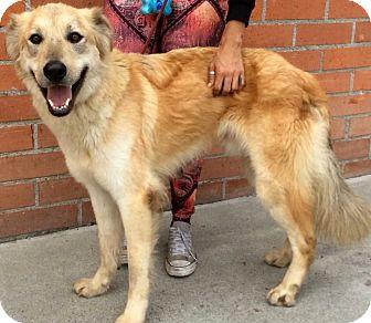 Anatolian Shepherd Mix Dog for adoption in Los Angeles, California - JOSHUA (video)