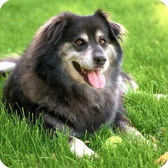 Alaskan Malamute Mix Dog for adoption in Westfield, New York - Nanook