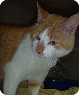 Domestic Shorthair Cat for adoption in Hamburg, New York - Christopher
