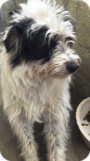 Shih Tzu Mix Dog for adoption in Oswego, Illinois - I'M ADOPTED Malibu