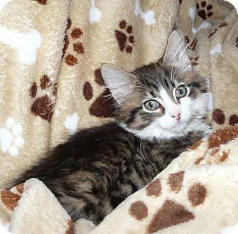 Domestic Longhair Kitten for adoption in Middletown, Ohio - Munchkin