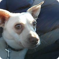Adopt A Pet :: Nilly (Vanilla) - Indianapolis, IN