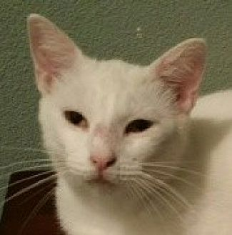 Domestic Shorthair Cat for adoption in Mobile, Alabama - Ralphie
