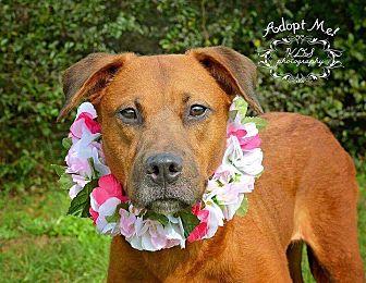 Labrador Retriever Mix Dog for adoption in Seabrook, New Hampshire - Barbara Jean