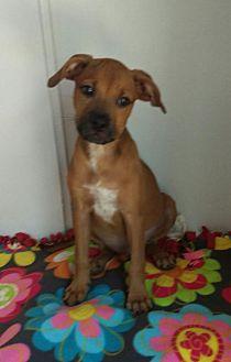 German Shepherd Dog Mix Puppy for adoption in Mesa, Arizona - Muffin