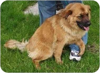 Chow Chow Mix Dog for adoption in Battleground, Indiana - Foster