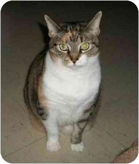 Domestic Shorthair Cat for adoption in Toronto, Ontario - Lola