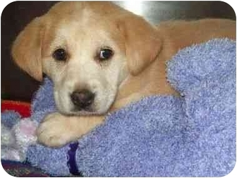 Labrador Retriever Mix Puppy for adoption in Spruce Pine, North Carolina - Muffin