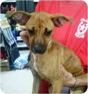 Chihuahua/Whippet Mix Puppy for adoption in Gilbert, Arizona - Frito