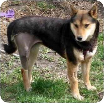 Shiba Inu Dog for adoption in Round Lake, Illinois - Honey- MO