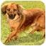 Photo 3 - Dachshund/Cocker Spaniel Mix Puppy for adoption in Marina del Rey, California - Harvey