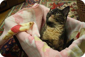 Domestic Shorthair Kitten for adoption in Marietta, Georgia - Maisie