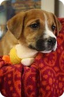 Labrador Retriever/Shepherd (Unknown Type) Mix Puppy for adoption in Marietta, Georgia - Faith
