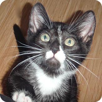 Domestic Shorthair Kitten for adoption in Escondido, California - Bolt