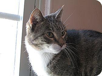 American Shorthair Cat for adoption in Plattekill, New York - Pollyianna