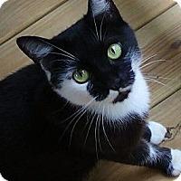 Adopt A Pet :: Shadow - Port Republic, MD