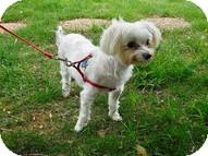 Maltese Mix Dog for adoption in Wilmington, Massachusetts - Truman