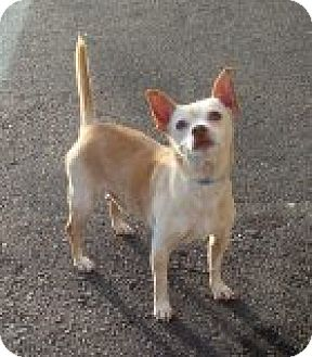 Chihuahua Mix Dog for adoption in Las Vegas, Nevada - Alvyn