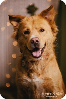 Chow Chow/Golden Retriever Mix Dog for adoption in Portland, Oregon - Scully