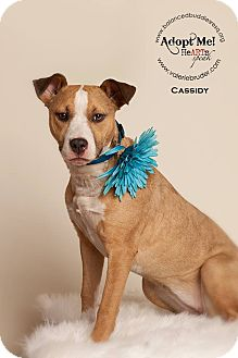 American Pit Bull Terrier/German Shepherd Dog Mix Puppy for adoption in west berlin, New Jersey - Cassidy