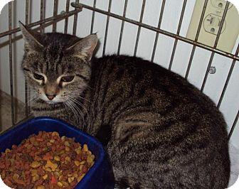 Domestic Shorthair Cat for adoption in Mt. Vernon, Illinois - Mitz