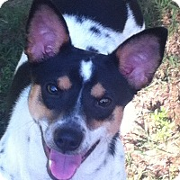 Adopt A Pet :: Puppy Benji in Houston - Houston, TX