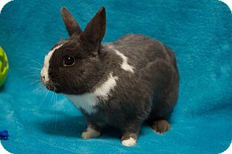 Dwarf Mix for adoption in Los Angeles, California - Bonaparte