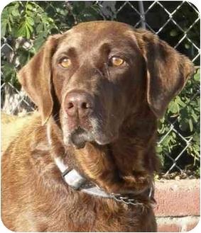 Labrador Retriever Dog for adoption in El Segundo, California - Olive