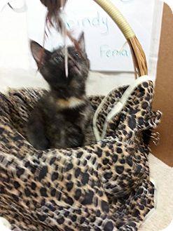 Domestic Mediumhair Kitten for adoption in Greenville, Kentucky - BRINDY