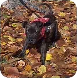 American Bulldog/Labrador Retriever Mix Puppy for adoption in Naugatuck, Connecticut - Simba
