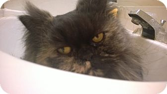Persian Cat for adoption in Columbus, Ohio - Cissy