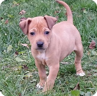 Terrier (Unknown Type, Small) Mix Puppy for adoption in Washington, D.C. - Nana (DC) Ready 1/1
