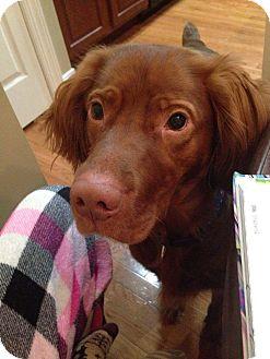 Irish Setter/Vizsla Mix Dog for adoption in Franklinville, New Jersey - Blue