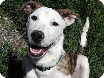 Collie/American Bulldog Mix Dog for adoption in Republic, Washington - Petey