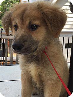 Shepherd (Unknown Type) Mix Puppy for adoption in CUMMING, Georgia - Sierra