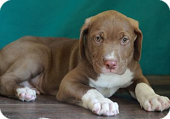 Labrador Retriever Mix Puppy for adoption in Waldorf, Maryland - Andrew