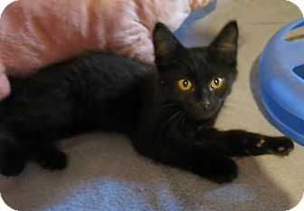 Domestic Longhair Kitten for adoption in Geneseo, Illinois - Motor