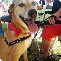 Adopt A Pet :: Lola - Holmes Beach, FL