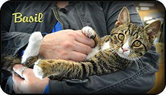 Domestic Shorthair Kitten for adoption in Sherman Oaks, California - Basil