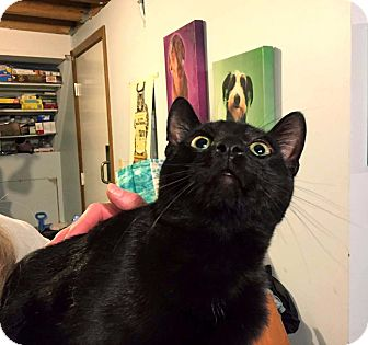 Domestic Shorthair Cat for adoption in Lombard, Illinois - Waylon