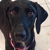 Adopt A Pet :: Scooby - Orlando, FL
