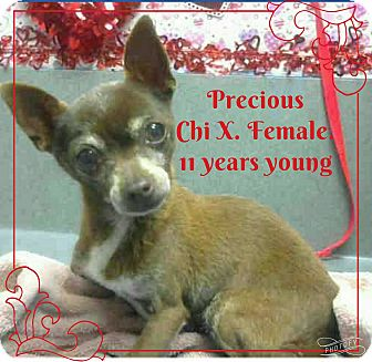 Chihuahua Dog for adoption in Barriere, British Columbia - Precious