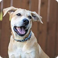 Adopt A Pet :: Shera - Austin, TX