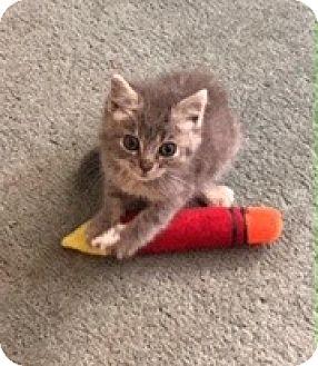Domestic Shorthair Kitten for adoption in Anaheim Hills, California - Lucy