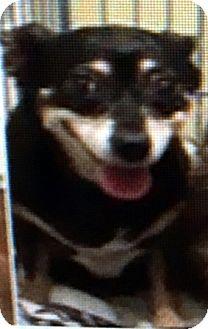 Miniature Pinscher Mix Dog for adoption in Las Vegas, Nevada - Jazzy