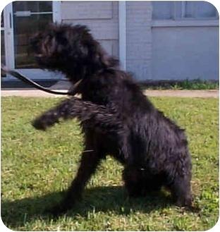 Bouvier des Flandres/Labrador Retriever Mix Dog for adoption in Hope, Arkansas - Noir