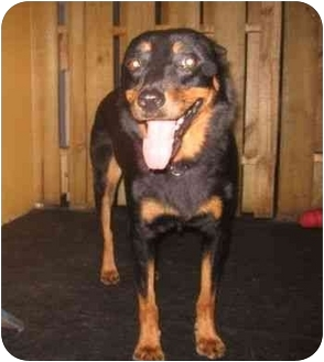 Rottweiler Mix Dog for adoption in Boca Raton, Florida - Zeus